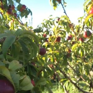 okanagan naturists visit nectarine orchard 176543113